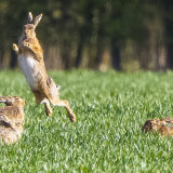 hares 5