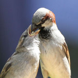 house sparrows 1