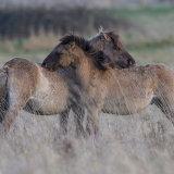 konick ponies 1