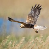 marsh harrier 1