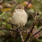 red backed shrike 1