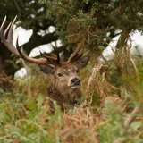 red deer 7