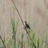 Cetti's warbler 1