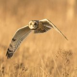 short eared owl 6