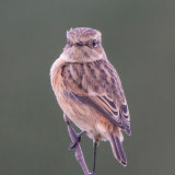 Whinchat 1