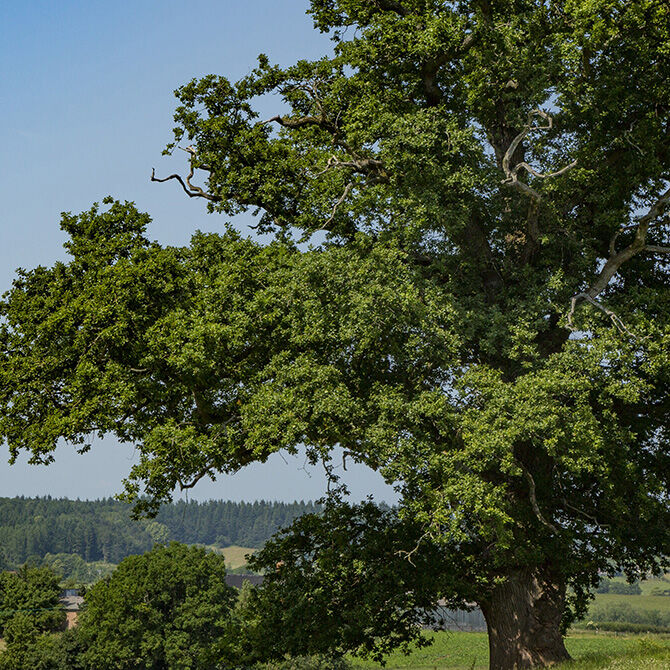 Oak growing in Kilpeck with a background of forest.