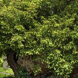 Ancient Yew in Peterchurch church yard