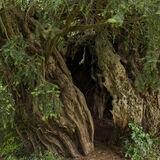 Yew tree hollow trunk