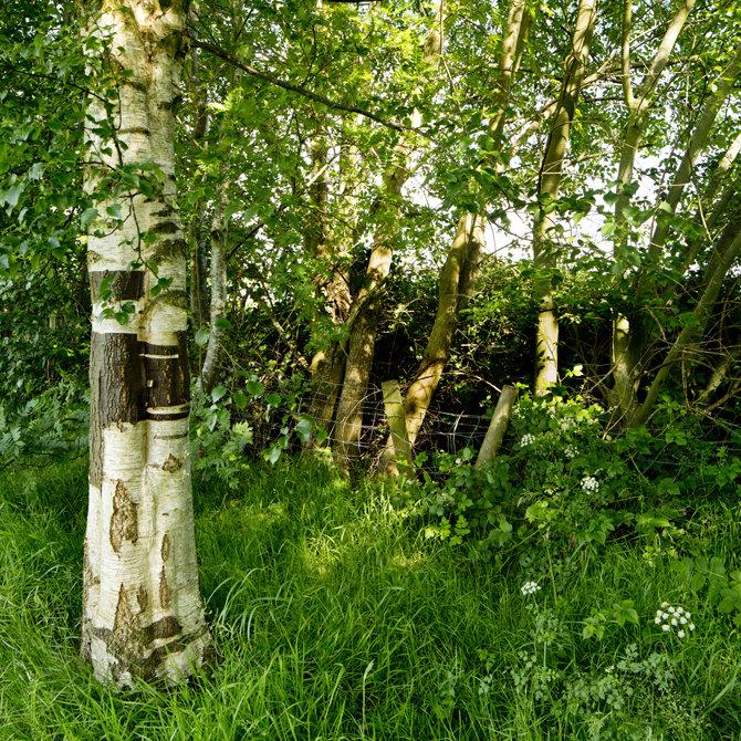 Silver Birch in shelter belt