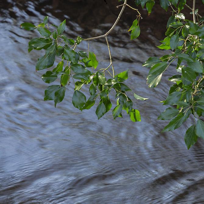 Ivy fronds