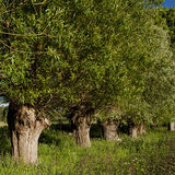 A line of willows that have been pollarded