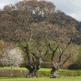Mature Oak trees in Vowchurch