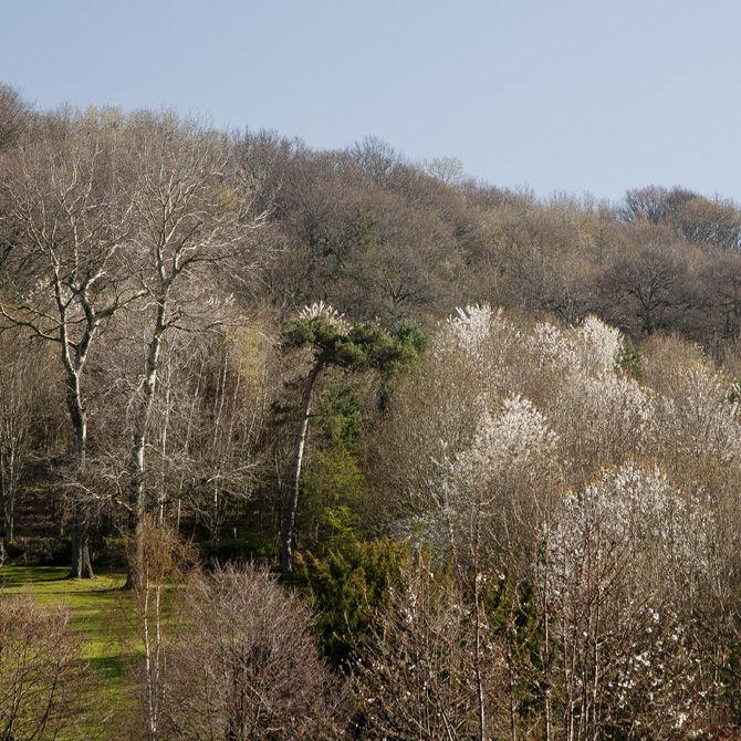 Cherry blossomThe woods