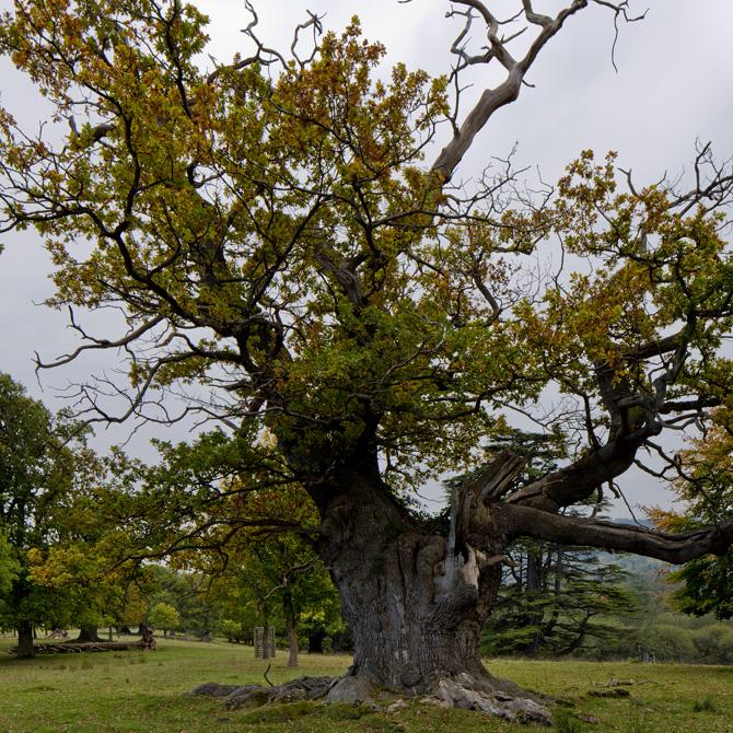 Moccas Oak