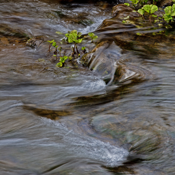 Butterbur growing in the river