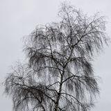 Birch silhouette