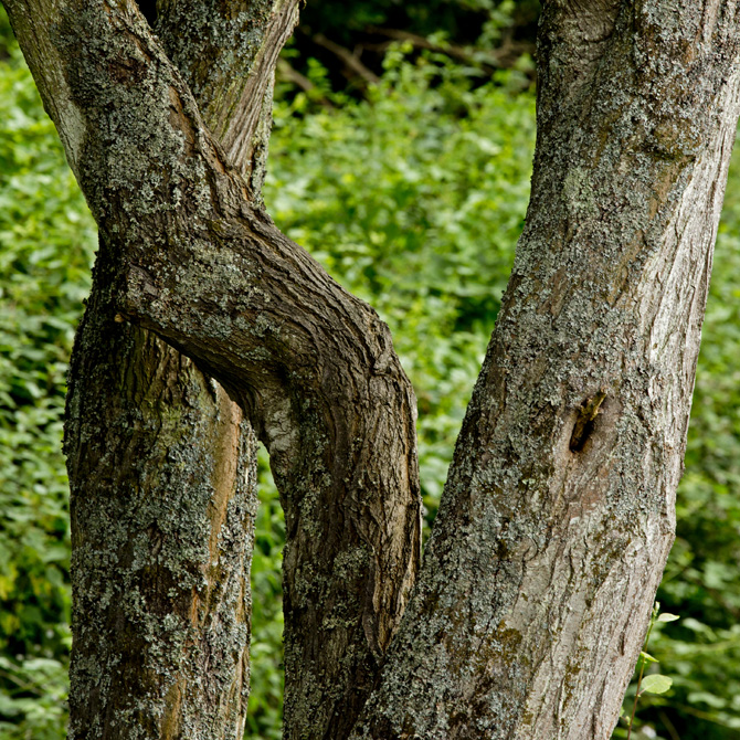 Twisted tree-trunks