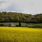 Oilseed Rape at Monnington