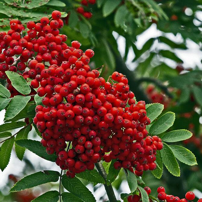 Cluster of berries on a Rowan tree