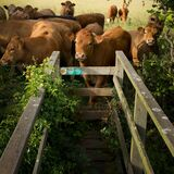 Inquisitive young cattle