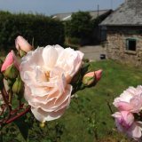 There are over 20 David Austin Roses planted around the farm