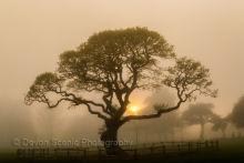 Abbey Meadows Tree in the Mist T78