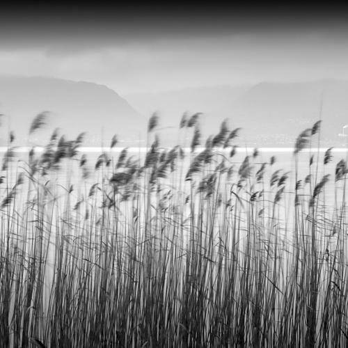 Reeds, Cudrefin, Lac Neuchatel, Switzerland 2011