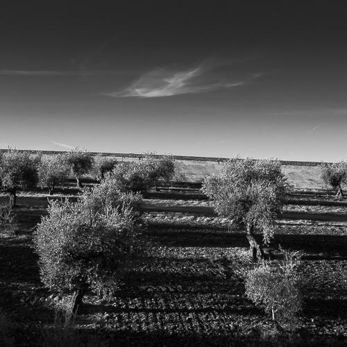 Olive Grove, Granada, Spain 2013