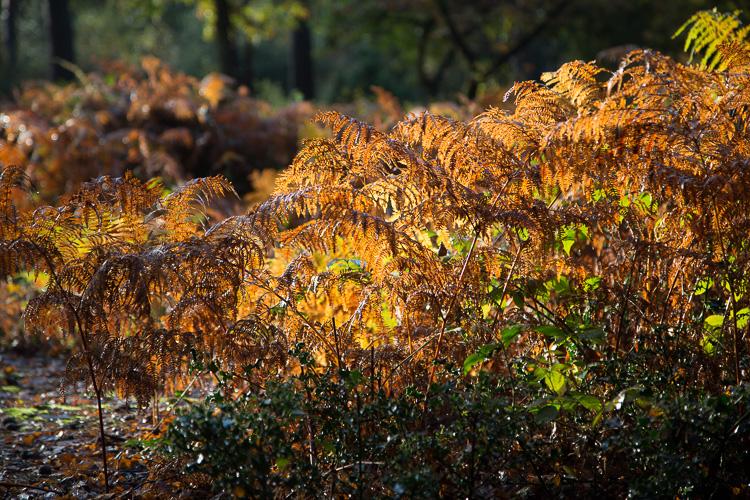 Autumn Bracken
