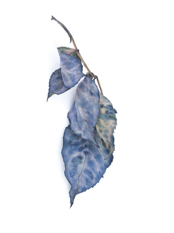 Died leaves