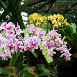 Orchid16