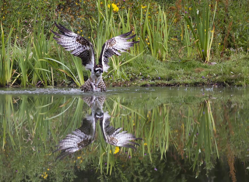 Osprey takes Flight