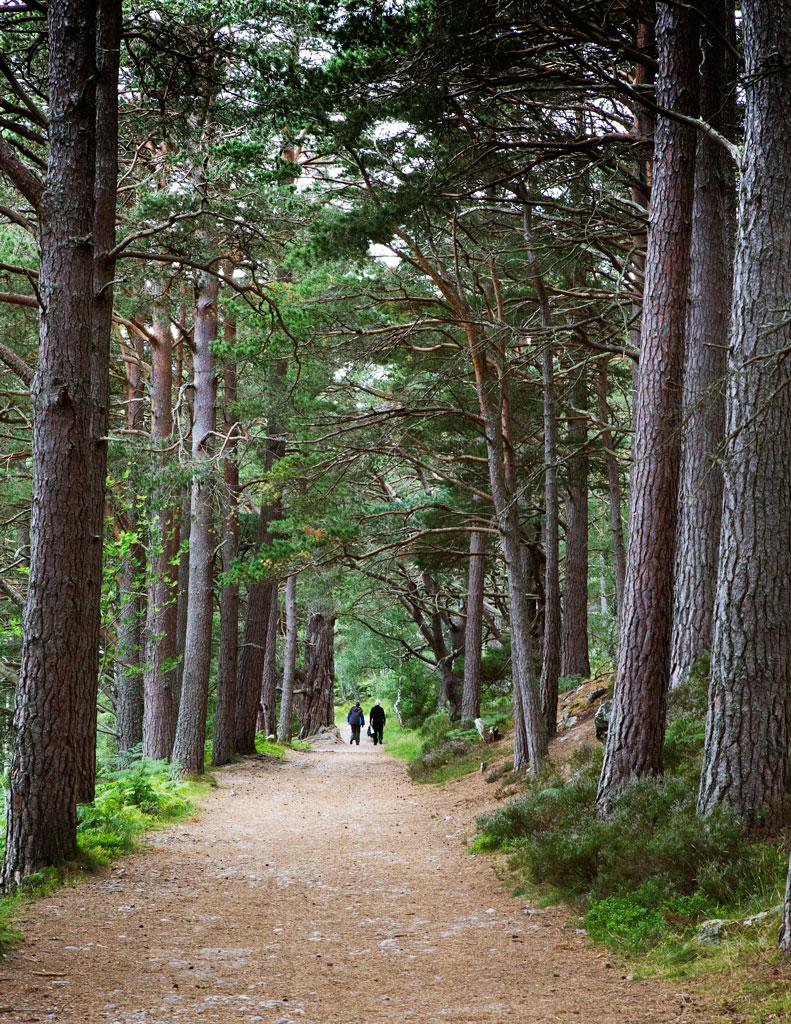 Scots-Pines-Avimore