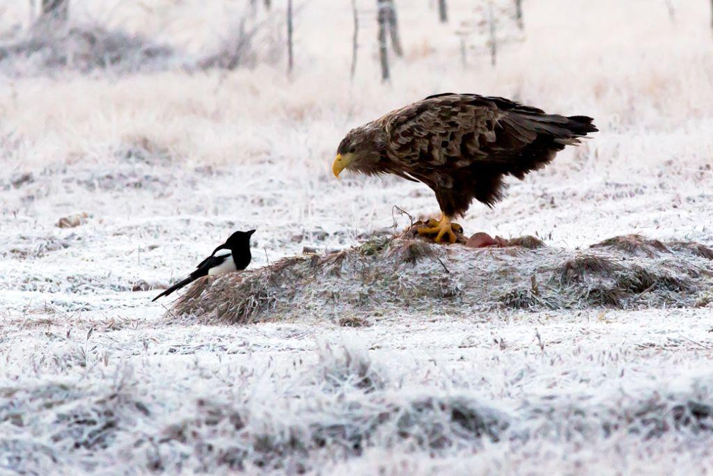 Sea Eagle and Magpie