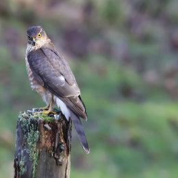 Sparrow Hawk Dumfries