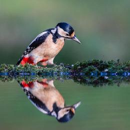 Woodpecker Reflection