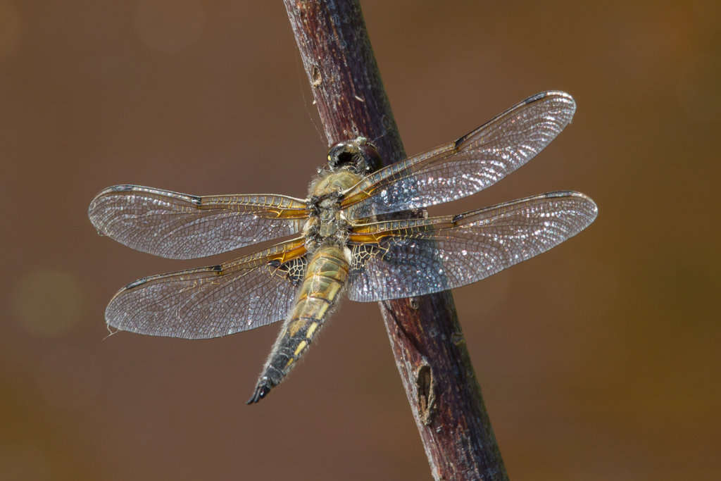 4-Spotted Chaser Male