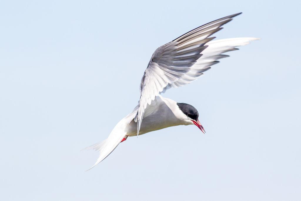 Arctic Tern - Inner Farne