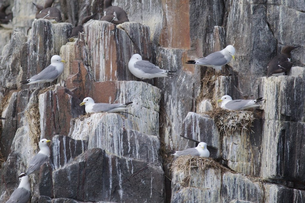Staple Island - Farnes
