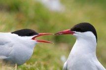 Arctic Terns - Inner Farne