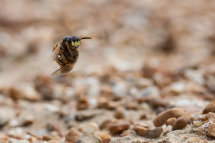 Bee Wolf - Dungeness RSPB
