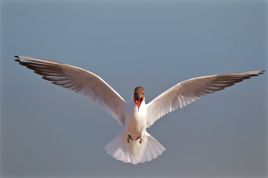 Blk Headed Gull
