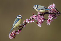 Blue Tits on Cherry Blossom