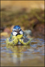 Blue Tit - Bad Hair Day!