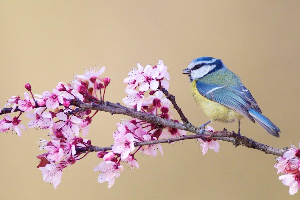 Blue Tit on Cherry Blossom