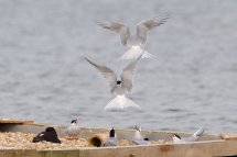 Common Tern Raft - Dungeness RSPB