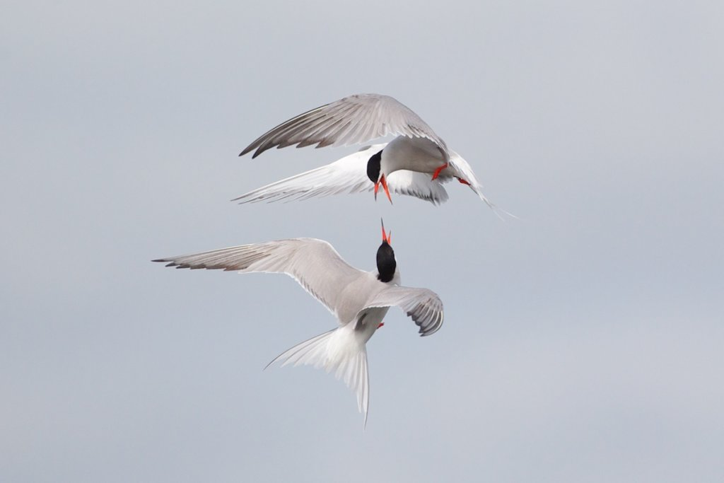 Common Terns Squabbling