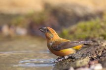 Crossbill - Male
