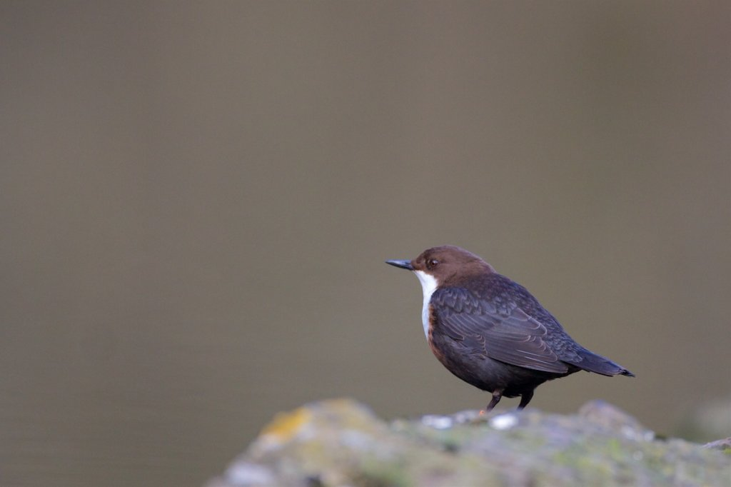 Dipper - Derbyshire Peak District
