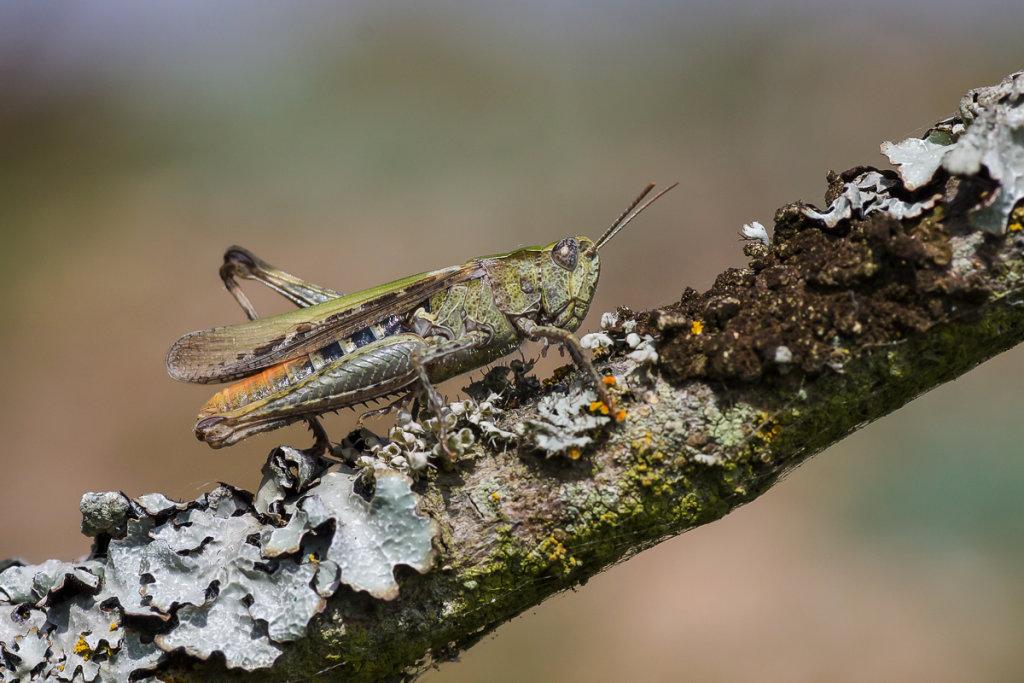 Field Grasshopper - Dungeness RSPB